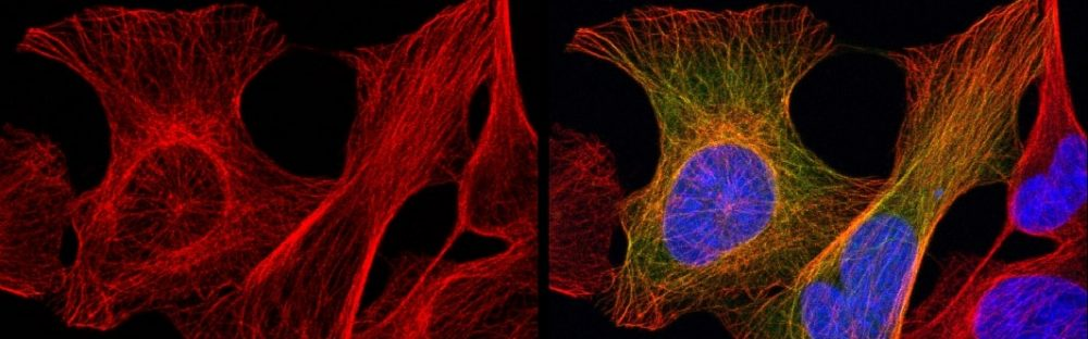 Welcome to Cytoskeleton And Cell Division Laboratory